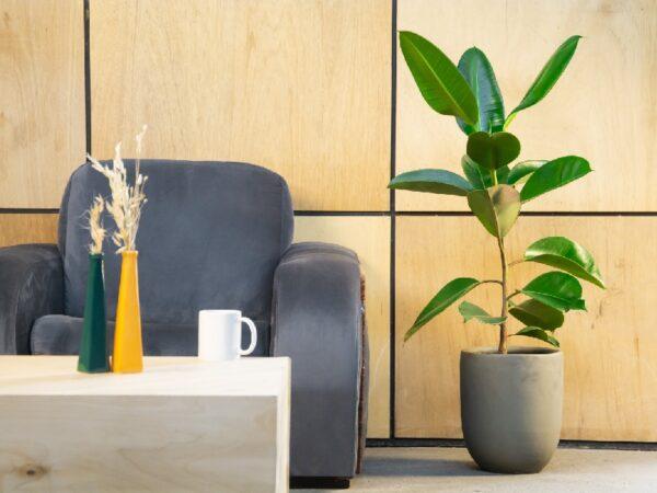 Ficus Elastica vase